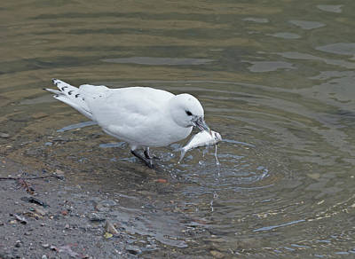 Photograph - Ivory Gull #2 by Jim Zablotny