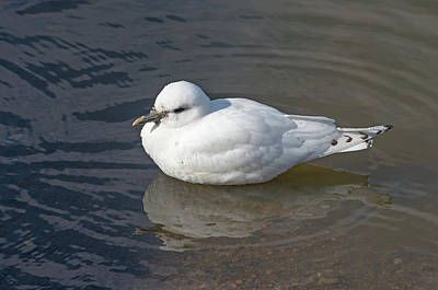 Photograph - Ivory Gull by Jim Zablotny