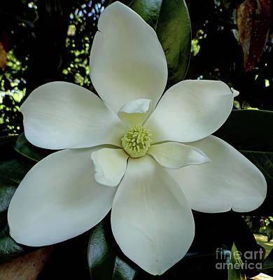 Photograph - Ivory Magnolia Blossom by D Hackett