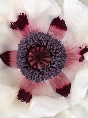 Photograph - Ivory Poppy  by Susan Garren