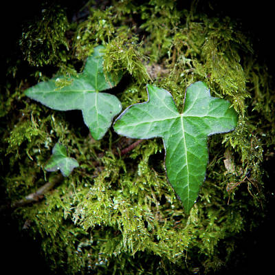 Photograph - Ivy And Moss by Helen Northcott