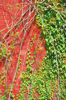 Photograph - Ivy And Red Brick 8 Sketch by Mary Bedy