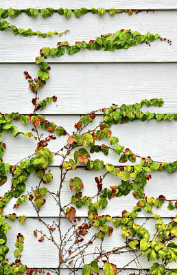 Photograph - Ivy And Siding by Cate Franklyn