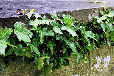 Photograph - Ivy Growing On An Old Stone Tombstone  by Vizual Studio