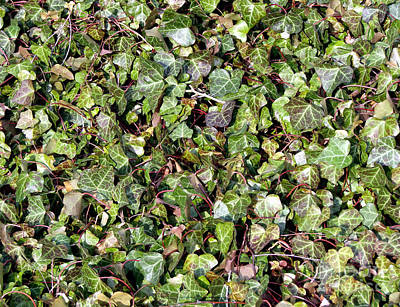 Photograph - Ivy Ivy Ivy by Olivier Le Queinec
