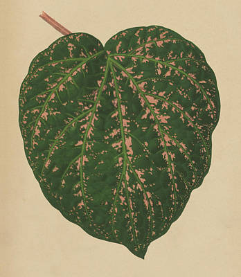 Nature Study Drawing - Ivy Leaf, Cissus Porphyrophyllus  by English School