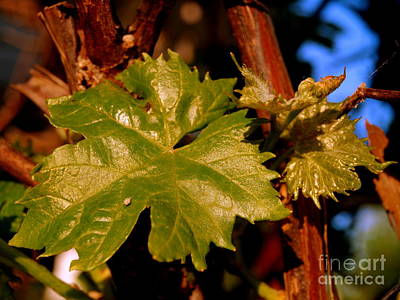 Photograph - Ivy Leaf by Michael Canning