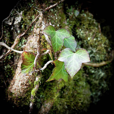 Photograph - Ivy Leaves by Helen Northcott