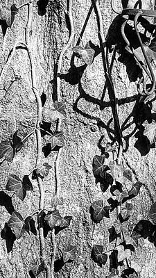 Photograph - Ivy On Oak by Kathy Barney