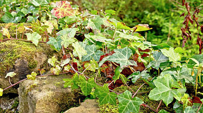 Photograph - Ivy On Stones by Elena Perelman