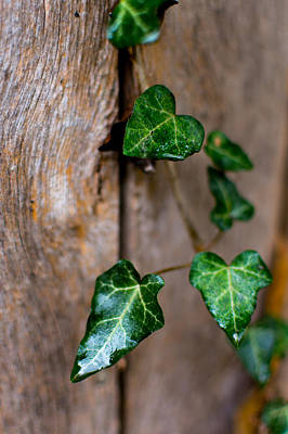 Photograph - Ivy On The Fence  by Nathan Hillis