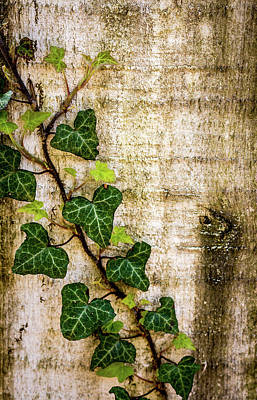Photograph - Ivy On The Fence Post by Susie Weaver