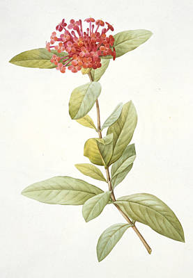 Colorful Drawing - Ixora Speciosa by Pierre Joseph Redoute