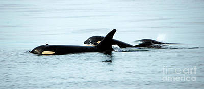 Orca Photograph - J-pod Familyties by Mike Dawson