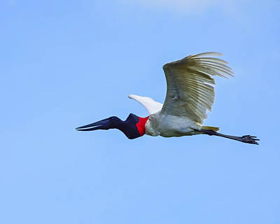 Photograph - Jabiru by Tony Beck