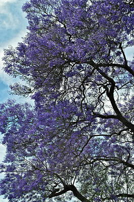 Jacaranda Tree Photograph - Jacaranda Clouds by Gwyn Newcombe