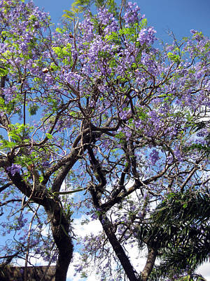 Photograph - Jacaranda Friends by Sarah Hornsby