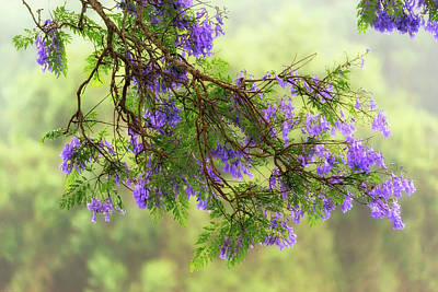 Flower In Rain Wall Art - Photograph - Jacaranda In Bloom by Christopher Johnson