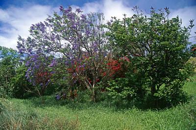 Jacarandra Tree Blooming In Maui Art Print by George Oze