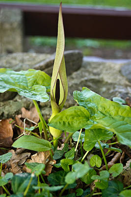 Jack In Pulpit 1 Print by Douglas Barnett