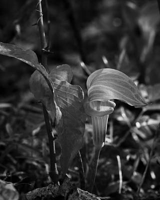 Photograph - Jack-in-the-pulpit In Black And White by Michael Dougherty