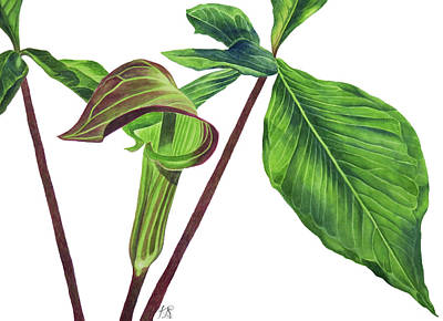 Wall Art - Painting - Jack-in-the-pulpit by Kristina Spitzner