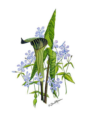 Drawing - Jack-in-the-pulpit With Wild Sweet Williams by Bruce Morrison