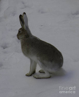 Photograph - Jack Rabbit by Donna L Munro