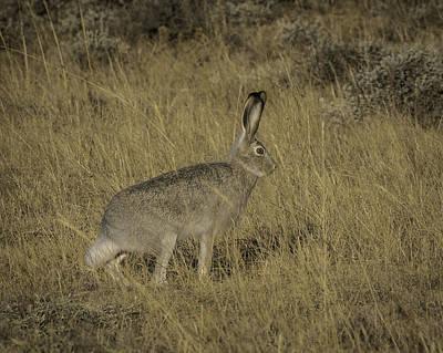 Photograph - Jack Rabbit by Elizabeth Eldridge