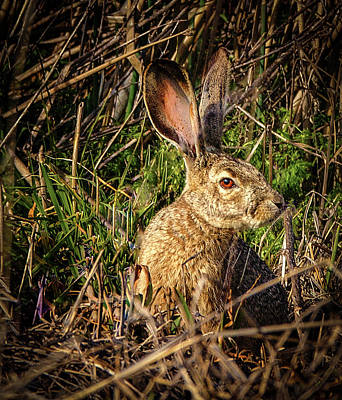 Photograph - Jack Rabbit by Jean Noren