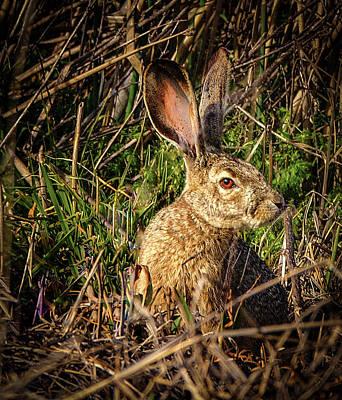 Photograph - Jack Rabbit by Jean Noren