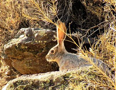 Photograph - Jack Rabbit by Joshua Bales