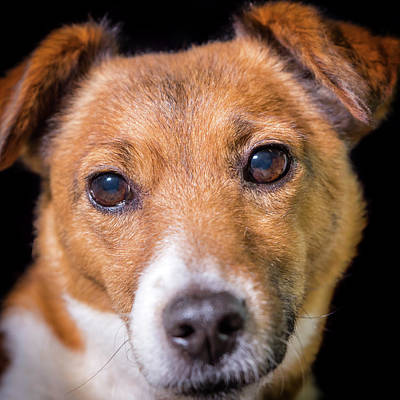 Photograph - Jack Russell #2 by Nick Bywater