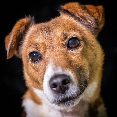 Photograph - Jack Russell #3 by Nick Bywater