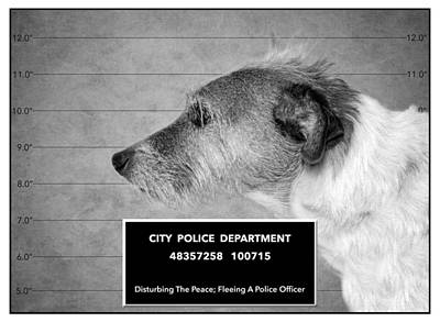 Mans Best Friend Photograph - Jack Russell Terrier Mugshot - Dog Art - Black And White by SharaLee Art