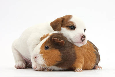 House Pet Photograph - Jack Russell Terrier Puppy Guinea Pig by Mark Taylor