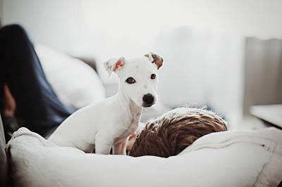 Sleeping Puppy Photograph - Jack Russell Terrier Puppy With His Owner by Lifestyle photographer