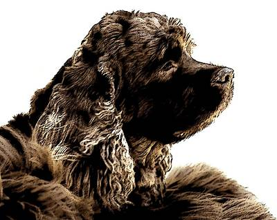 Cocker Spaniel Wall Art - Photograph - Jack Waits by Norman Andrus