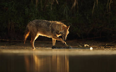 Water Play Photograph - Jackal Morning Play by Assaf Gavra