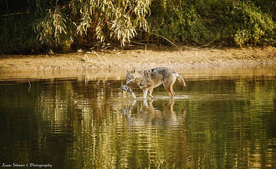 Photograph - Jackal With Food by Isaac Silman