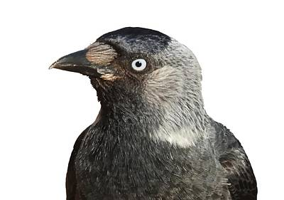 Photograph - Jackdaw Bird Portrait Vector by Tracey Harrington-Simpson