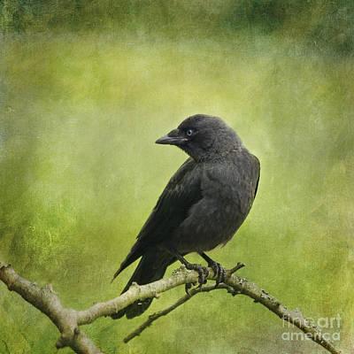 Photograph - Jackdaw  Corvus Monedula by Liz Leyden
