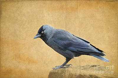 Photograph - Jackdaw by Lisa Cockrell