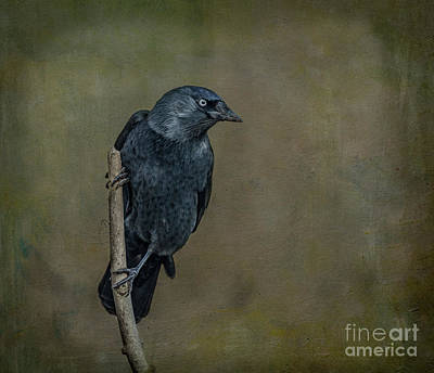 Digital Art - Jackdaw by Liz Leyden