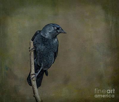 Digital Art - Jackdaw by Liz Leyden