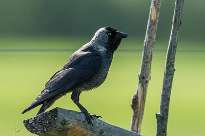 Photograph - Jackdaw On The Fence by Torbjorn Swenelius