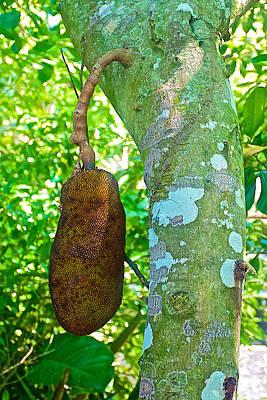 Jackfruit Tree In Rio De Janeiro-brazil Art Print by Ruth Hager