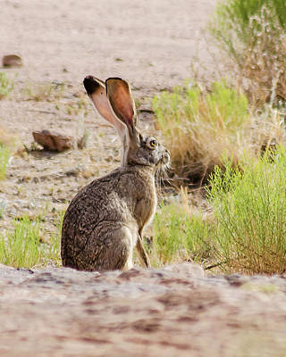 Photograph - Jackrabbit by Allen Sheffield