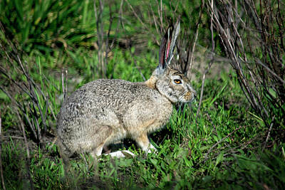 Photograph - Jackrabbit In Hiding by Frank Wilson
