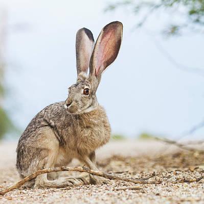 Desert Jackrabbit Photograph - Jackrabbit In The Environment  by Ruth Jolly